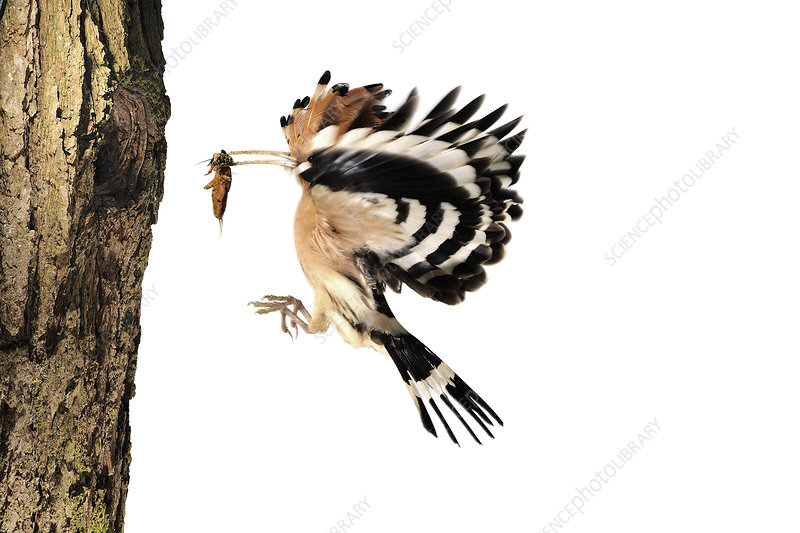 Hoopoe flying to nest hole in tree with insect prey in beak