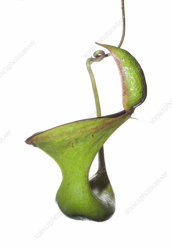 Pitcher plant (Nepenthes lowii), upper pitcher