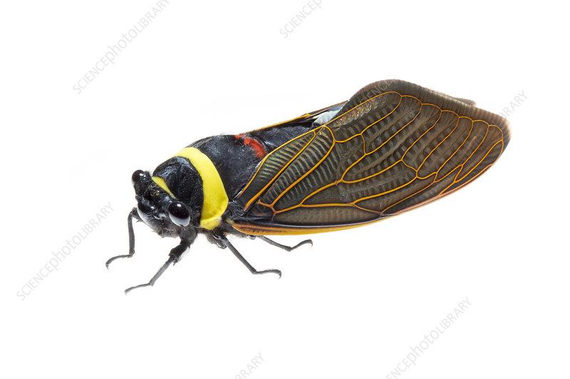 Giant cicada adult. Mount Kinabalu, Borneo, Malaysia