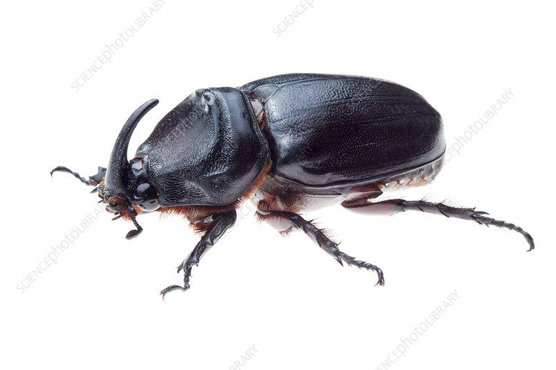 Rhinoceros beetle, Crocker Range, Borneo, Malaysia