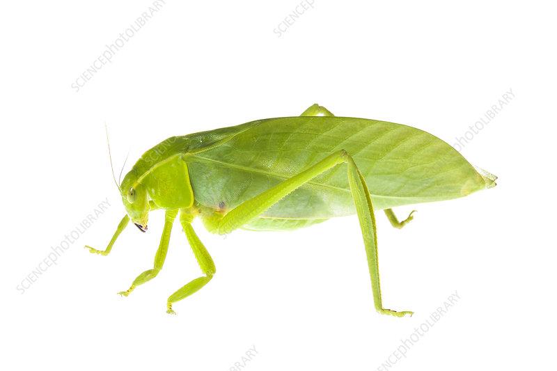 Grasshopper, Crocker Range, Borneo, Malaysia