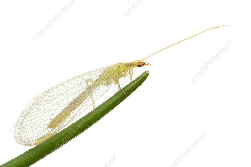 Green Lacewing on stem