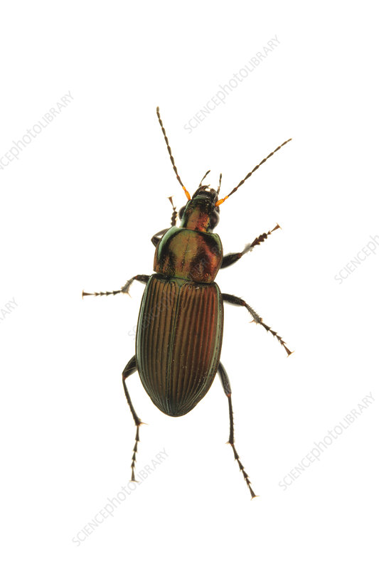 Ground Beetle, from above