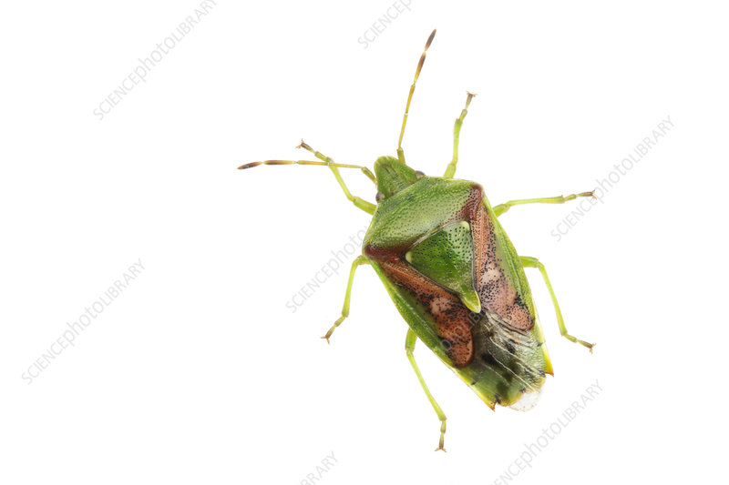 Hawthorn Shieldbug, from above