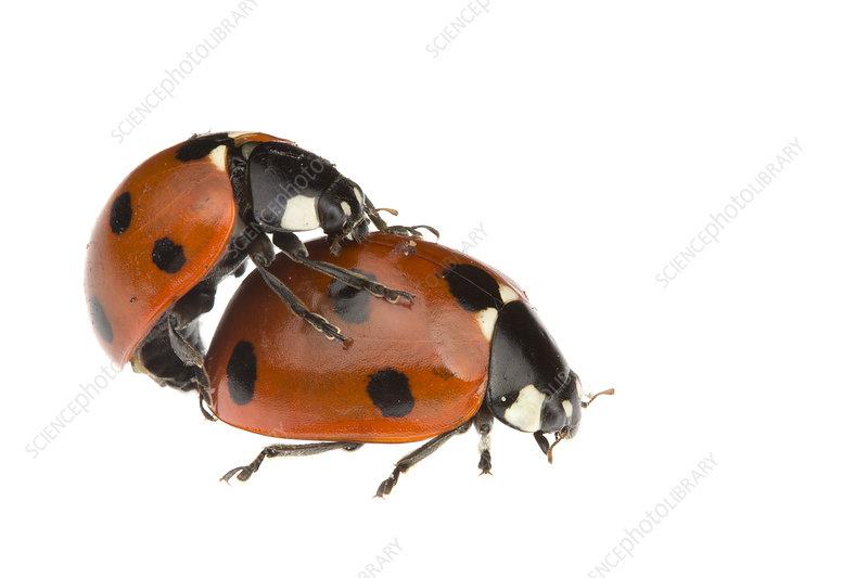 Seven Spot Ladybirds, mating pair