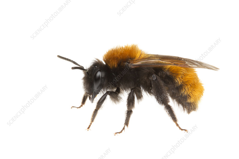 Tawny Mining Bee female