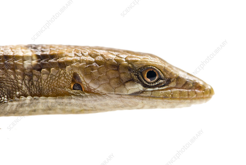 Southern Alligator Lizard head profile