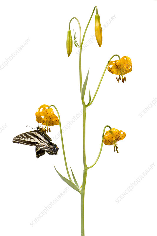 Leopard Lily (Lilium paedalinum) with butterfly