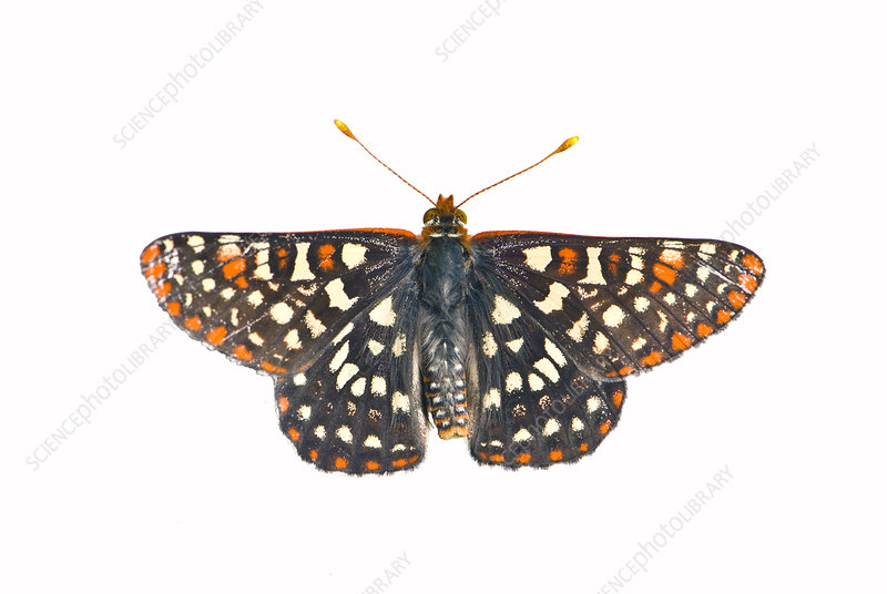 Variable Checkerspot Butterfly