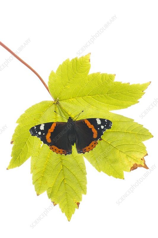 Red Admiral on leaf, Great Malvern, Worcestershire, UK