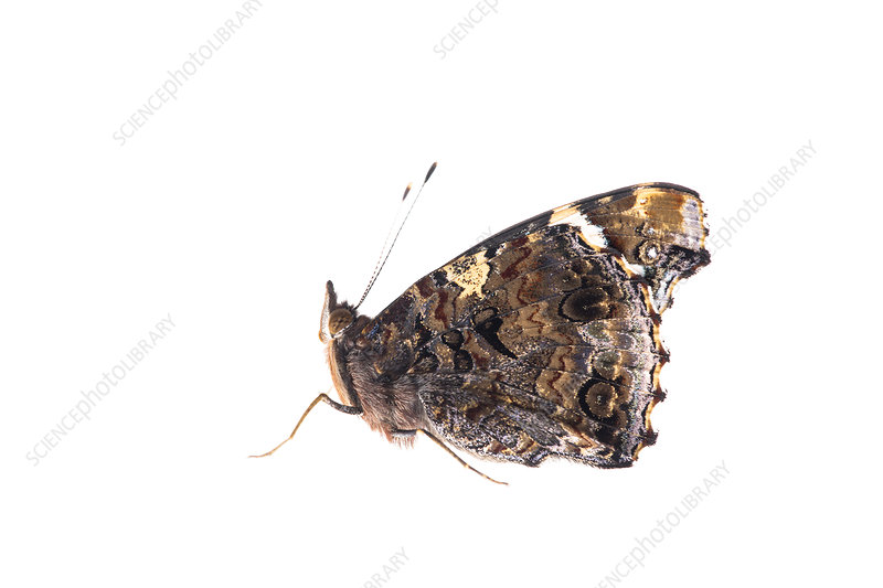 Red Admiral profile with wings closed