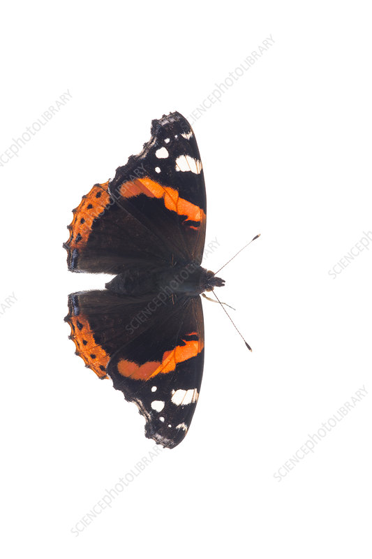 Red Admiral wings open, Great Malvern, Worcestershire, UK