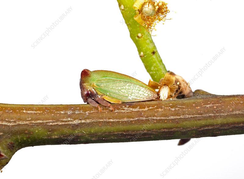 Acacia Horned Treehopper on wattle (Acacia pycnantha)