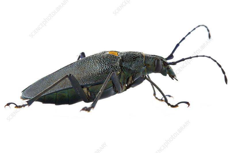 Long-horned beetle, Costa Rica
