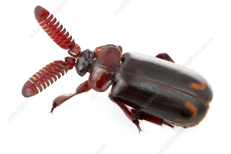 Ant nest beetle, Costa Rica