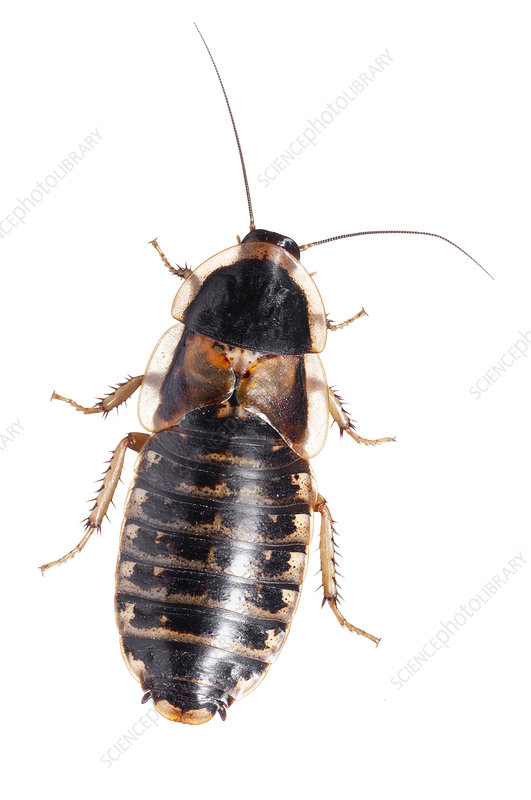 Guyana Spotted Cockroach female, Argentina
