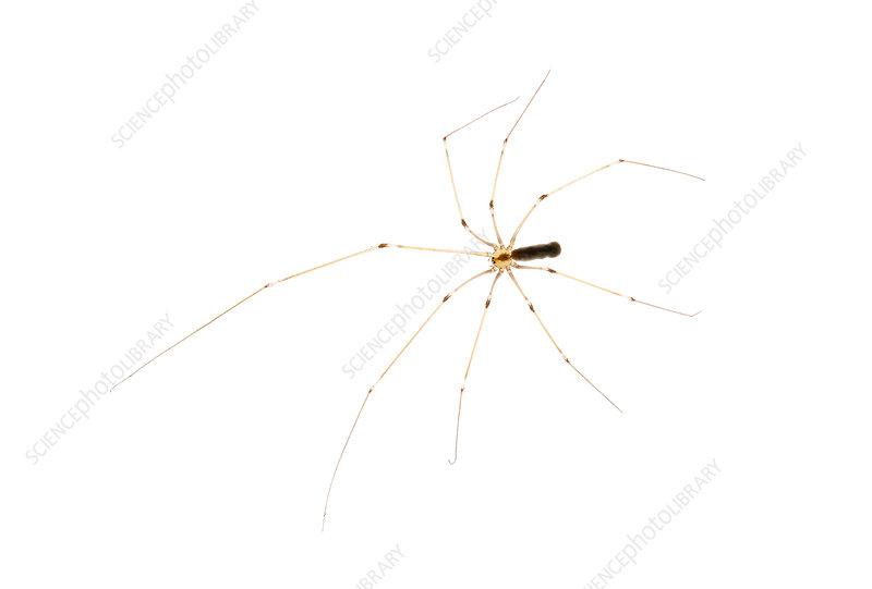 Skull Spider, Argentina