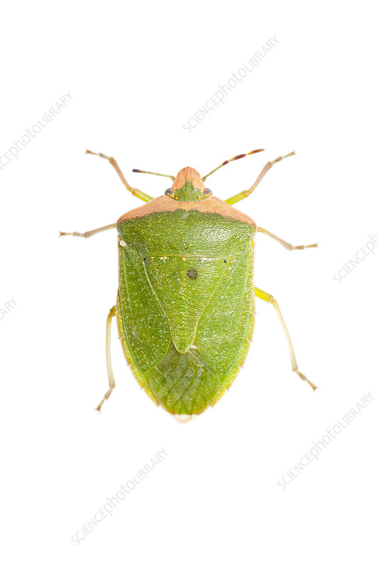 Southern Green Stink Bug, Argentina