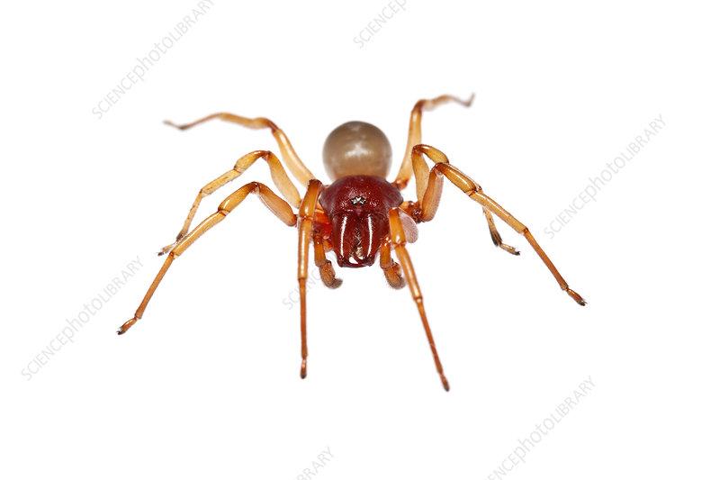 Woodlouse spider portrait, Heraklion, Crete, Greece
