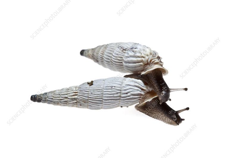 Air-breathing snails, Heraklion, Crete, Greece
