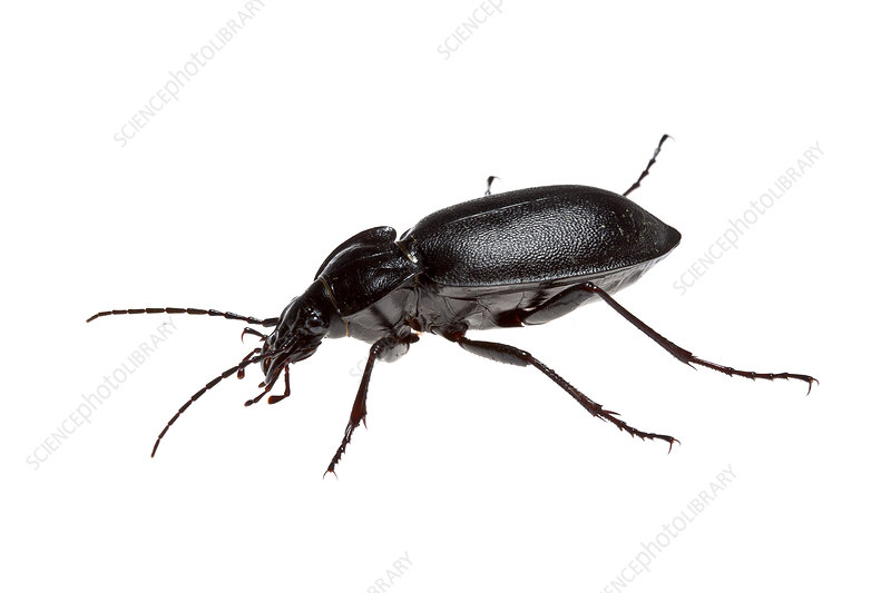 The Cretan endemic ground beetle, Heraklion, Crete, Greece