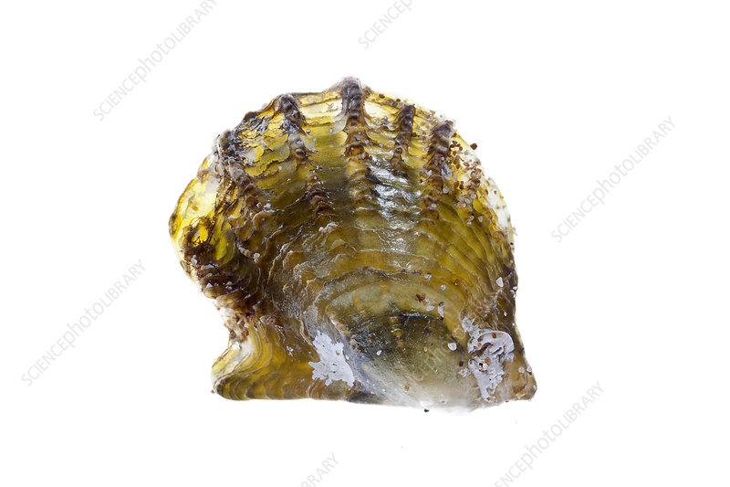 Atlantic pearl-oyster, Crete