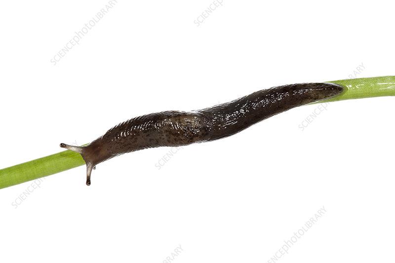 The Yellow slug crawling on a plant, Heraklion, Crete