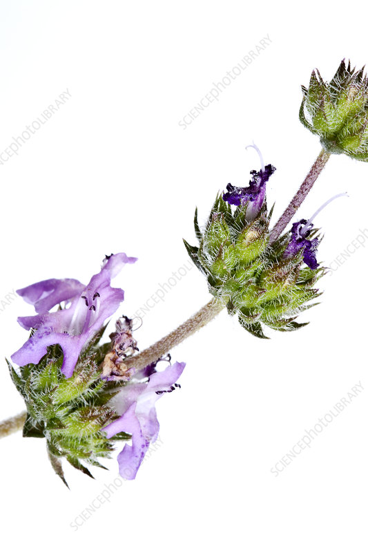 Details of the Savory (Satureja thymbra) flowers, Crete