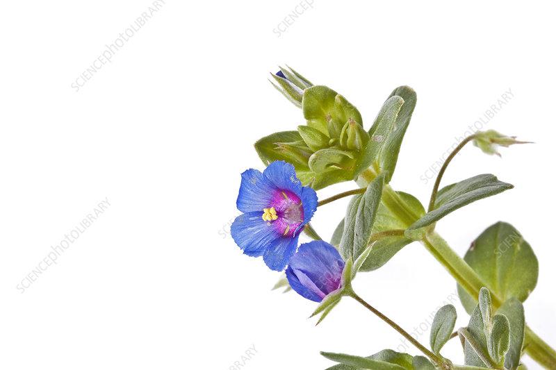 Scarlet Pimpernel (Anagallis arvensis) blue form, Crete