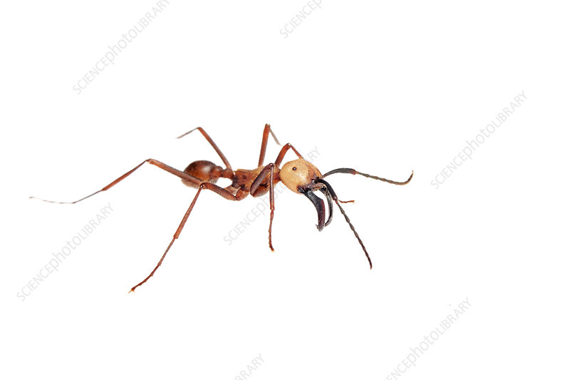 Army ant, Sao Paulo, Brazil