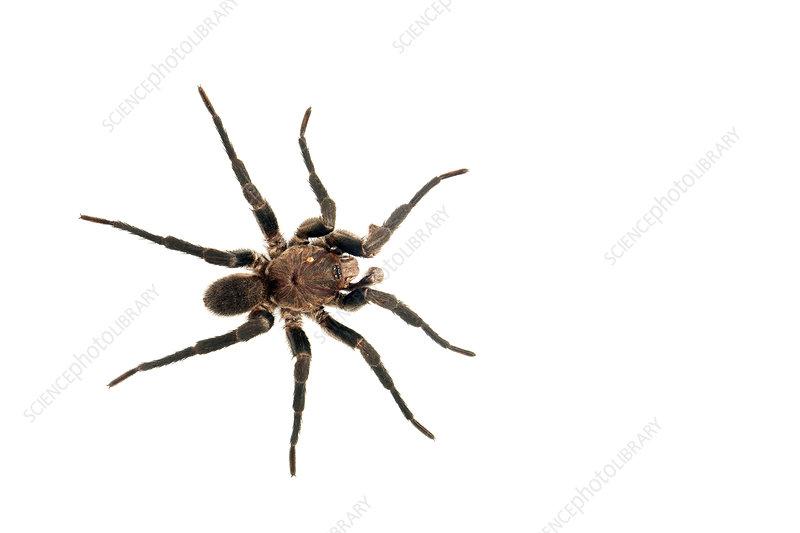 Funnel-web tarantula, Sao Paulo, Brazil