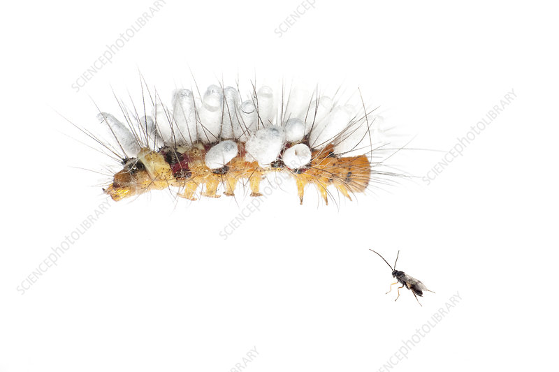 Moth caterpillar with parasitic wasp eggs attached