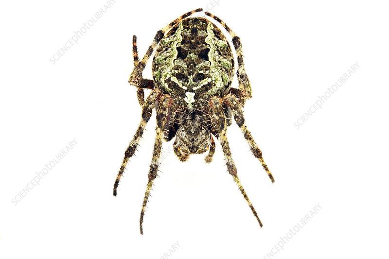 Orb weaver spider, Sao Paulo, Brazil