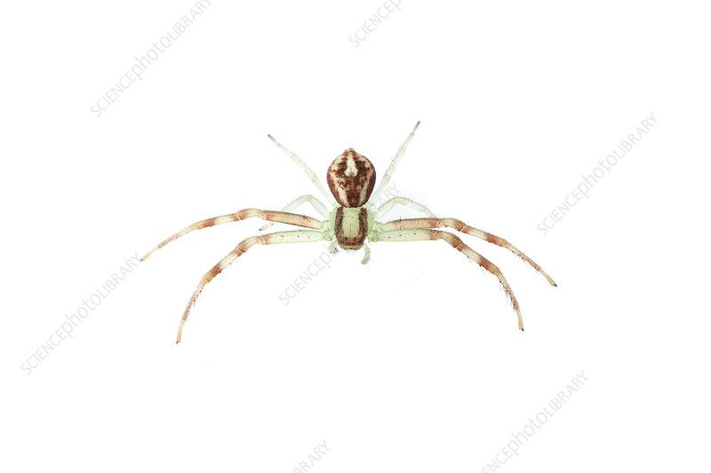 Crab spider, Sao Paulo, Brazil