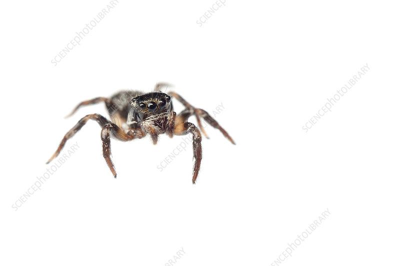 Jumping spider, Sao Paulo, Brazil