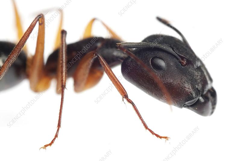 Carpenter ant, Sao Paulo, Brazil