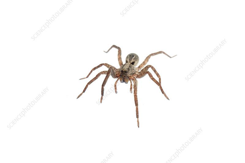 Juvenile wolf spider, Sao Paulo, Brazil