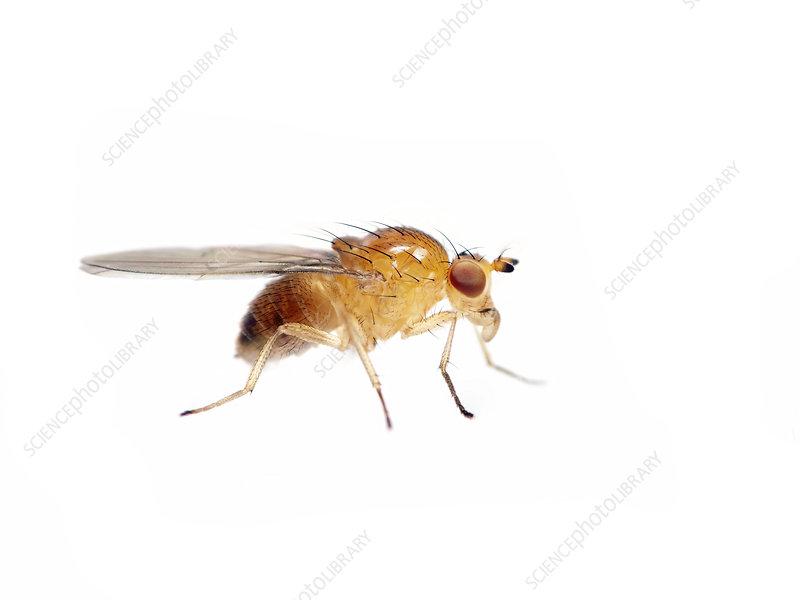 Fruit fly, Sao Paulo, Brazil