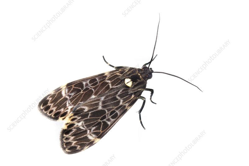 Moth, Sao Paulo, Brazil