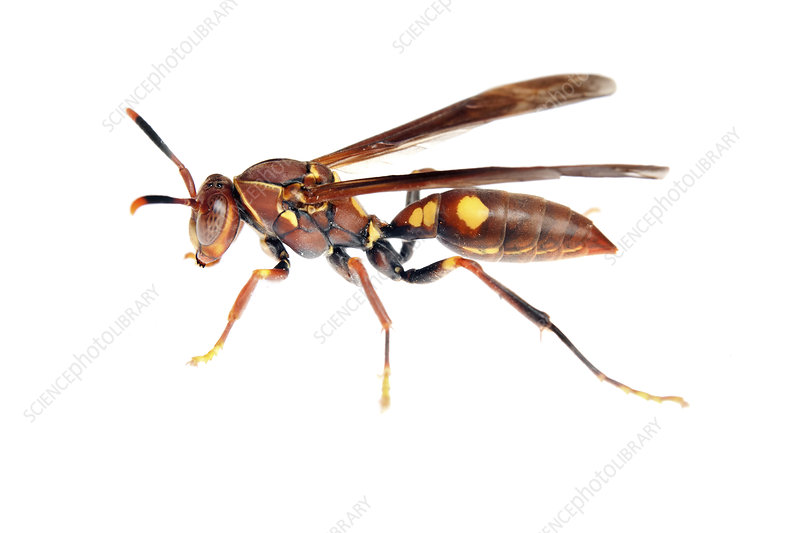 Paper wasp, Sao Paulo, Brazil