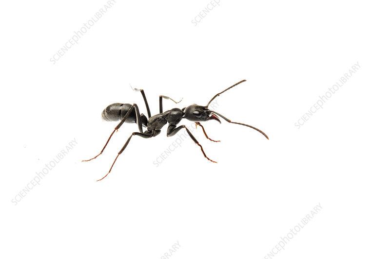 Predator ant, Sao Paulo, Brazil