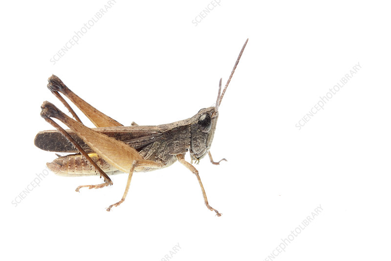 Grasshopper, Sao Paulo, Brazil