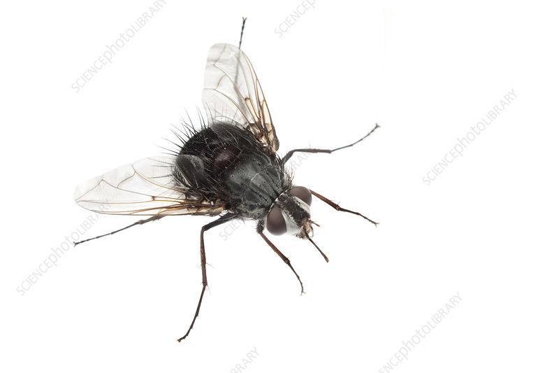 Bee fly, Sao Paulo, Brazil