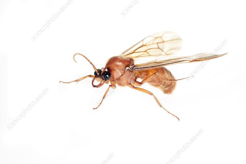 Male army ant, Sao Paulo, Brazil