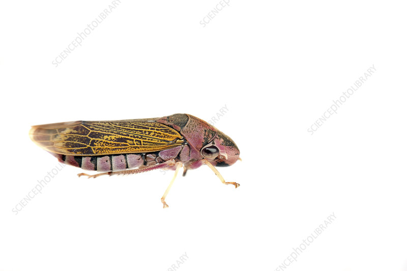 Leafhopper, Sao Paulo, Brazil