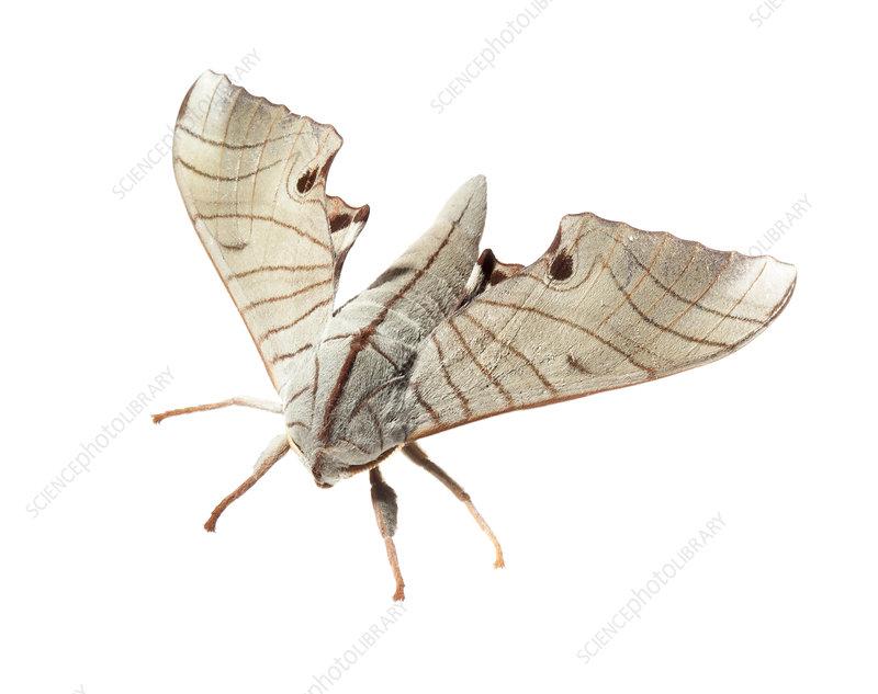 Hawk moth Mount Kinabalu, Borneo, Malaysia