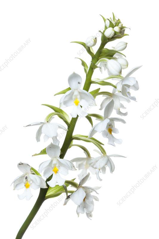 Orchid (Calanthe woodii) Mount Kinabalu, Borneo, Malaysia