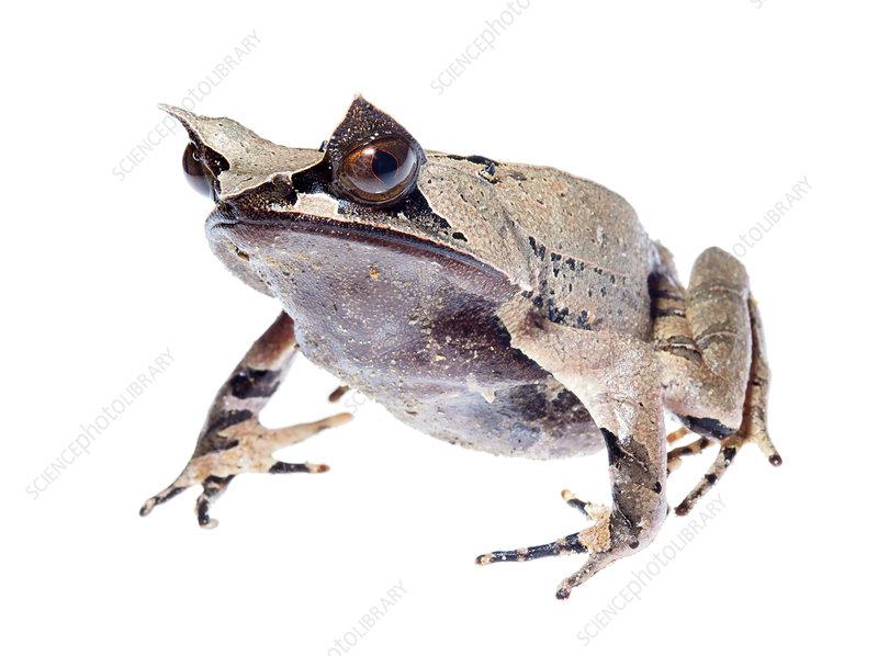 Malayan horned frog juvenile