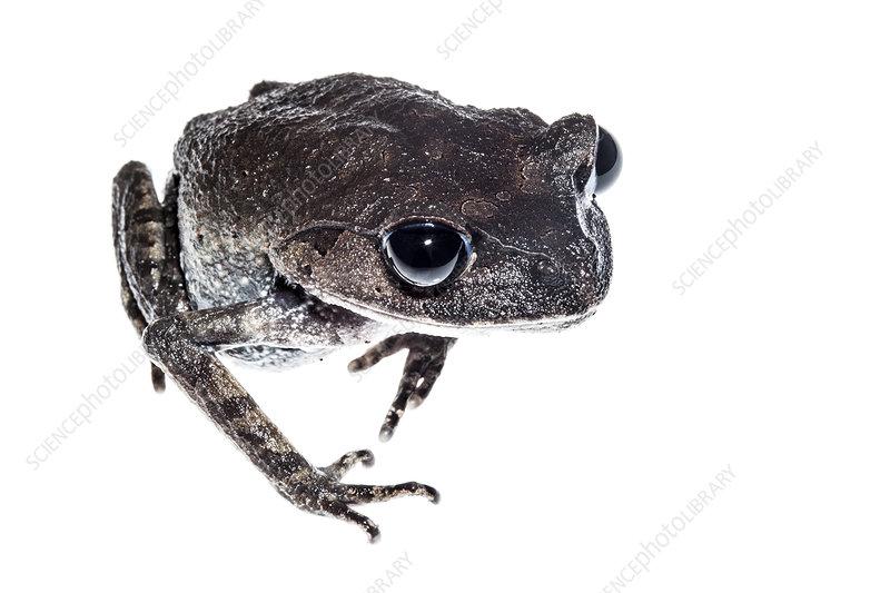 Frog, Crocker Range, Borneo, Malaysia