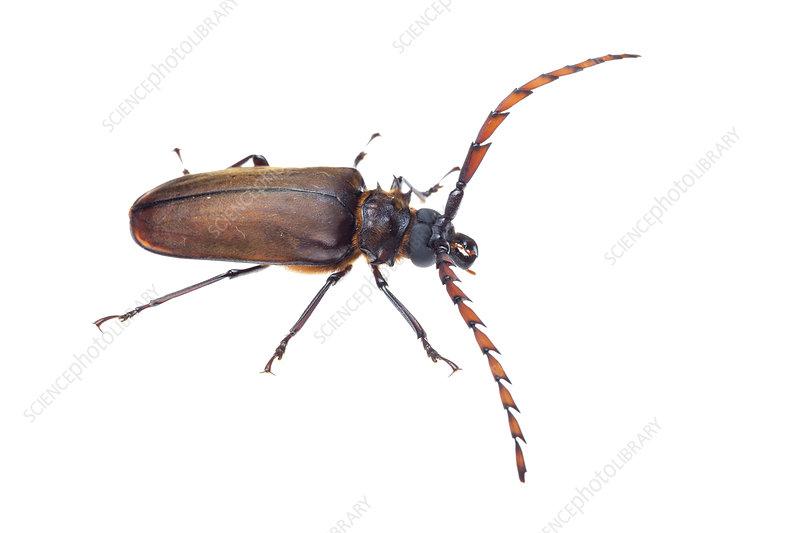 Longhorn beetle, Crocker Range, Borneo, Malaysia